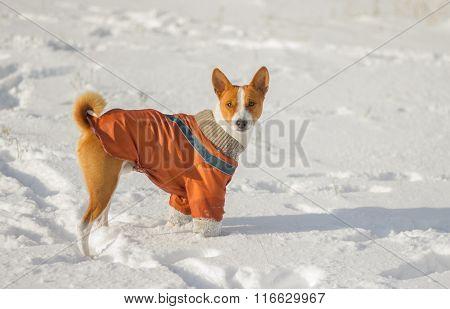 Cute African basenji dog irresolute to play in fresh snow