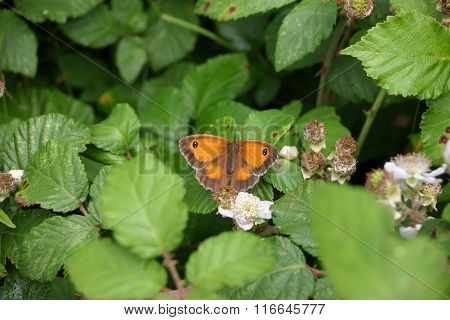 Female gatekeeper butterfly