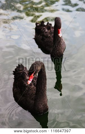 Two black swans. Top view