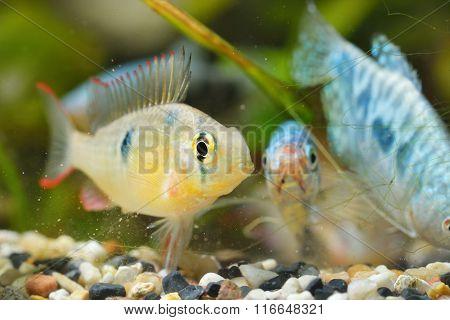 Tropical Cichlid In Aquarium
