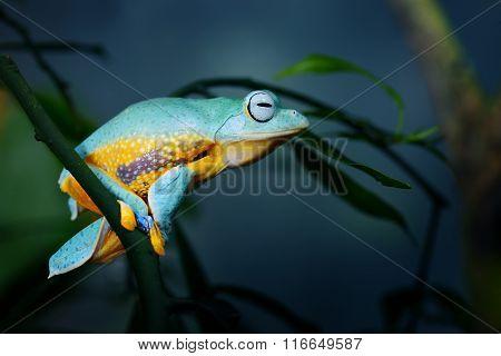 Green Flying Frog Frog Rhacophorus Reinwardtii