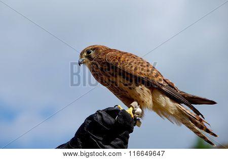 Common Kestrel Sitting On Leather Gloves