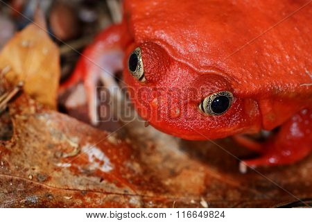 The False Tomato Frog Dyscophus Antongilii In Terrarium