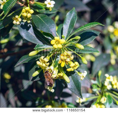 Fragrant Flowers Pittosporum Heterophylla In Crimea.