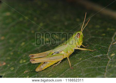 Field Grasshopper (chorthippus Apricarius)