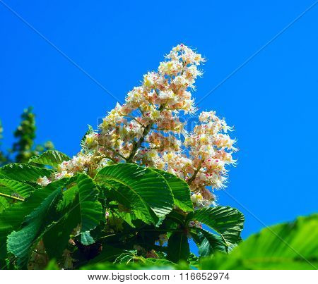 Blooming Chestnut On A Background Of Blue Sky