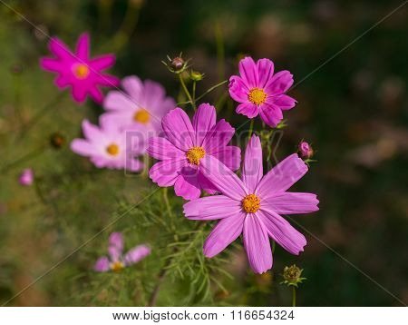 Kosmeya Pink Flowers In A Meadow Close-up. Nature