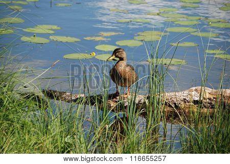 Mallard in front of water lilies