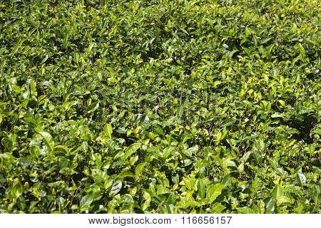 Background from young leaves of Ceylon tea