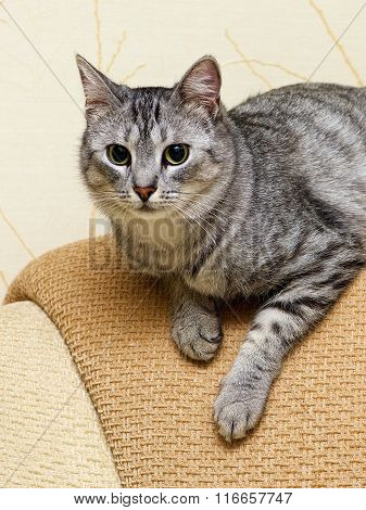 Serious cat, cat at home, domestic animal, grey serious cat in blurry background. Cat