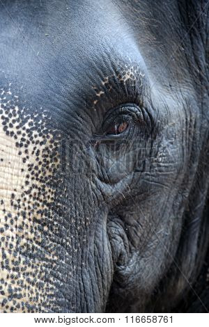 Wary look of Thai elephant close-up
