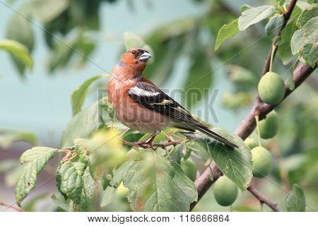 Chaffinch bird sitting on a green plum