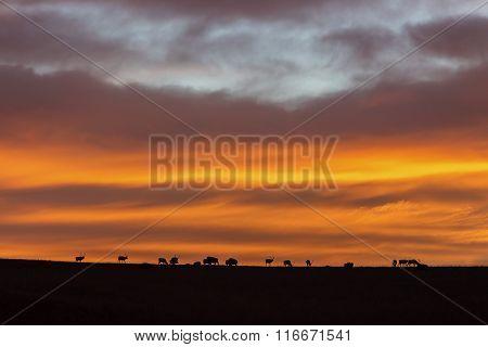 elk herd silhouette with Kansas sunrise