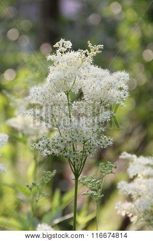White meadowsweet flowers