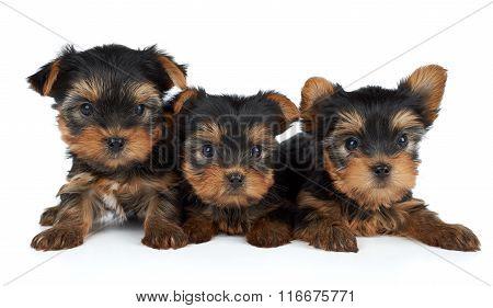 Three Puppies On White