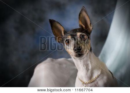 Portrait Of A Toy Fox Terrier On Blue
