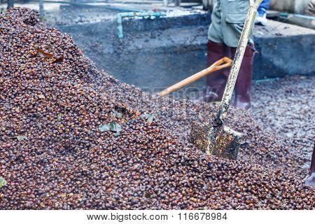 Labor Make Fertilizer From Bark Coffee Bean