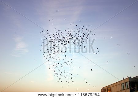 Starling flock at sunset