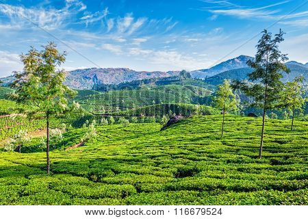 Green tea plantations in the morning, Munnar, Kerala state, India