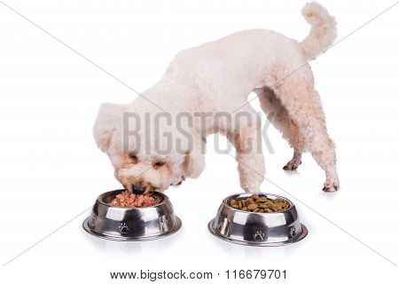 Poodle Dog Enjoying Her Nutritious And Delicious Raw Meat Meal