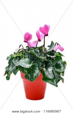 a Cyclamen hederifolium, popularly known as sowbread, with pink flowers in a red plant pot on a white background