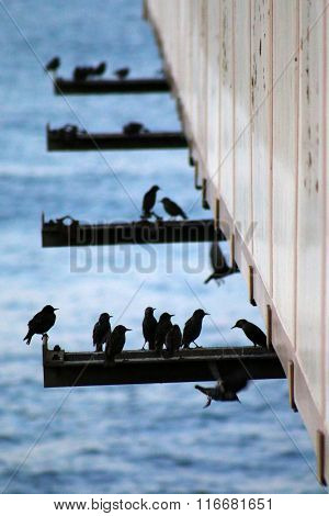 Starlings on iron pier