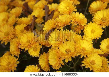Flowers yellow chrysanthemums
