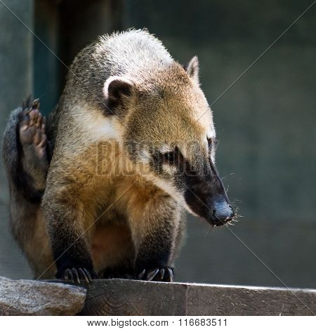 South American Coati, Or Ring-tailed Coati