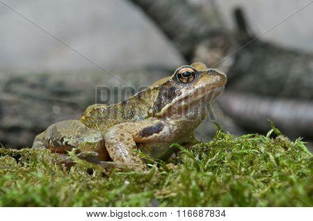Frog (Rana Temporaria)
