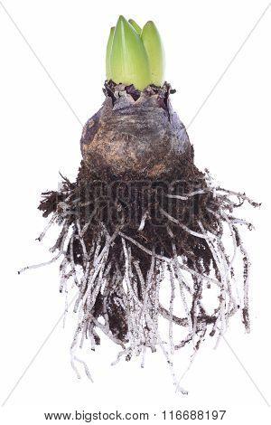 Closeup of hyacinth bulb