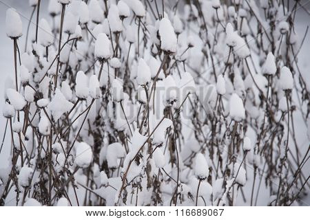 Snow Covered Coneflower