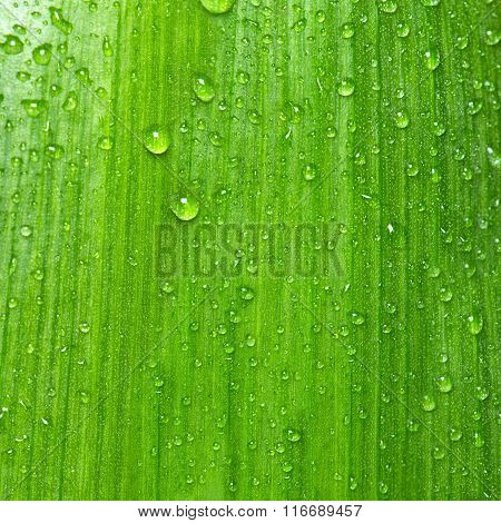 Green Leaf With Water Drops. Natural Background Texture