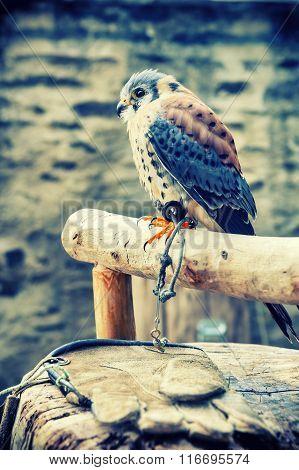 American Kestrel (falco Sparverius) Sitting On A Perch