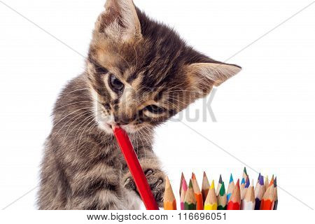 Tabby kitten chewing red pencil