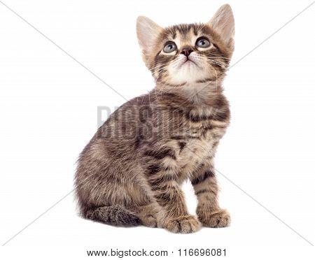 Little grey kitten, isolated on white