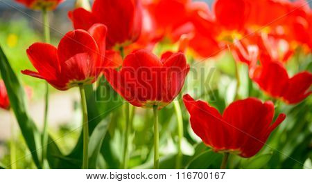 Beautiful Red Tulips in the Field. Flower Image