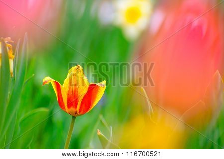 Beautiful Multicolored Tulip Flower in the Bright Spring Field
