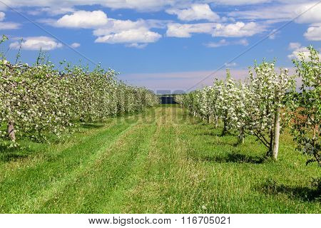 Apple trees blossoming in a spring orchard.