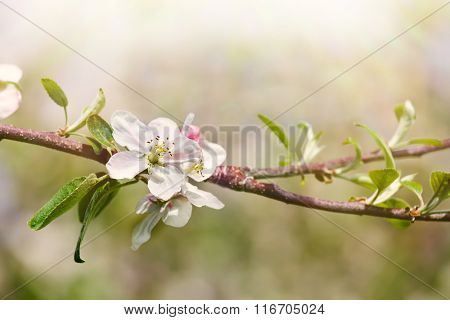 Apple blossoms in a spring orchard