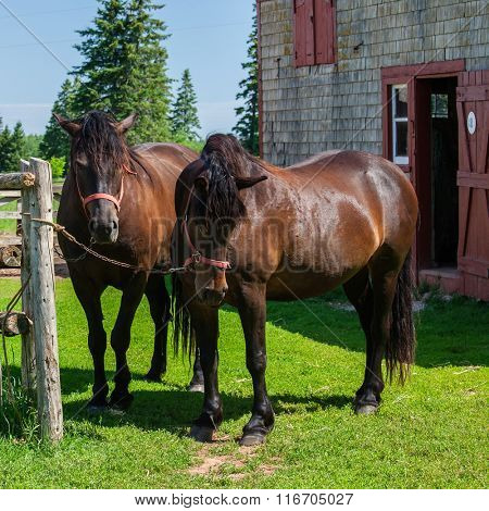 The Canadian horse is a horse breed from Canada that is a strong, well-muscled breed of light horse.