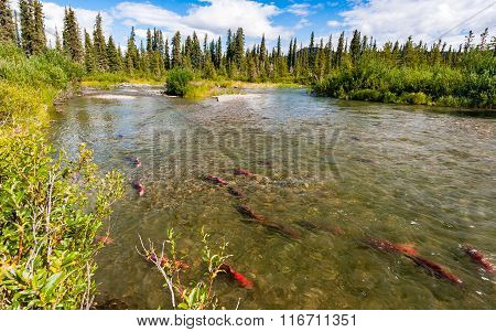 Sockeye Salmon In The Gulkana River, Alaska