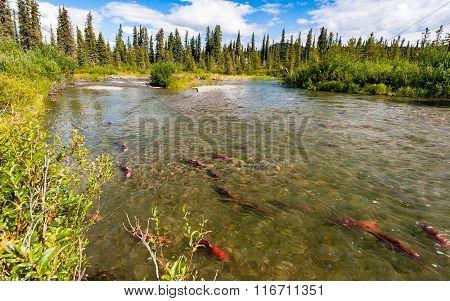 Sockeye Salmon In The Gulkana River, Alaska