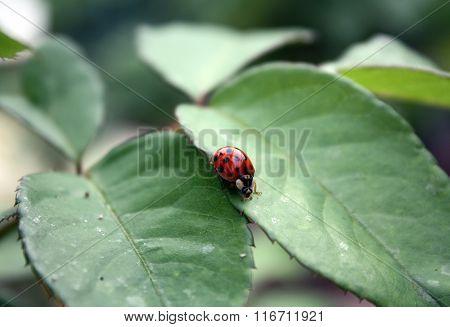 Closeup portrait of an eighteen spotted ladybird