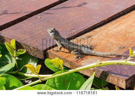 A reptile on deck looking at a beach - Neotropical ground lizard in Maragogi, Alagoas, Brazil.