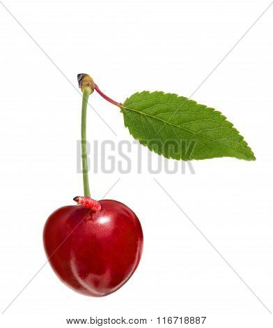 Sweet Cherry With A Worm Isolated On White