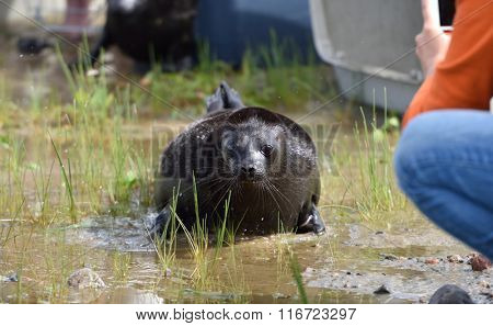 VALAAM ISLAND, RUSSIA - JULY 29, 2015: People release Ladoga ringed seals into the lake Ladoga. Animals was cured in the Center of study and conservation of marine mammals