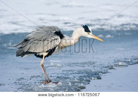 Grey Heron standing in the snow, a cold winter day