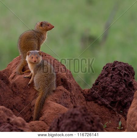 Dwarf mongooses on a termite mound