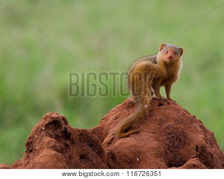 Dwarf mongoose on a termite mound