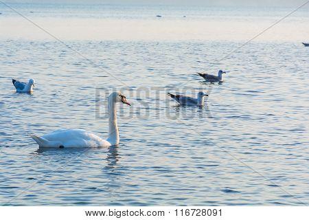 Beautiful white swans swimming in winter sea